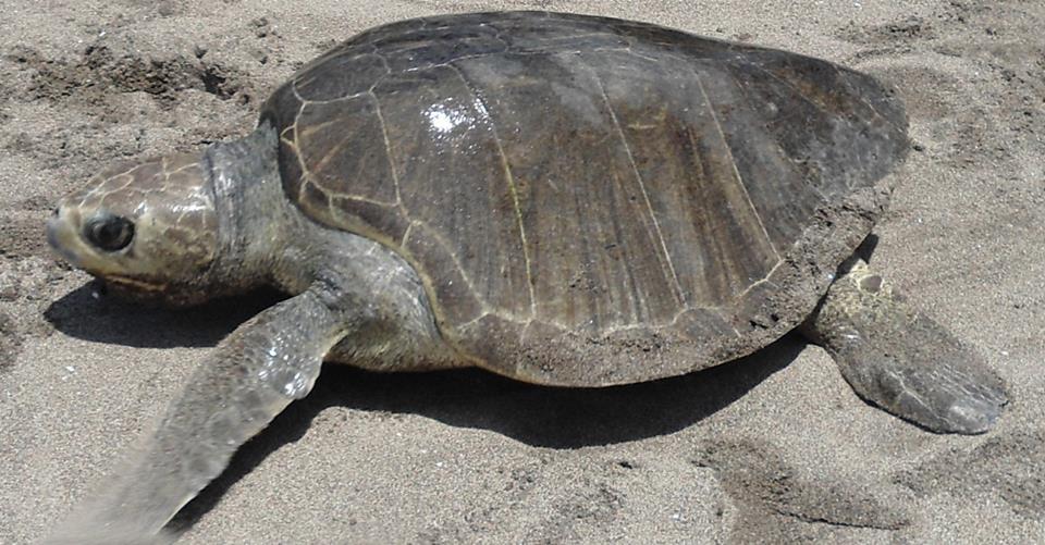 Ir a Amigos de la Tierra apoya la conservación en Nicaragua de especies de tortugas marinas en peligro de extinción