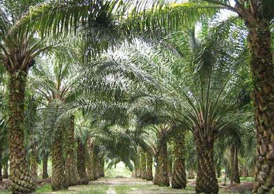 Ir a La demanda europea de aceite de palma provoca deforestación y acaparamiento de tierras