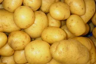 Ir a Barroso autoriza el cultivo de una patata transgénica peligrosa