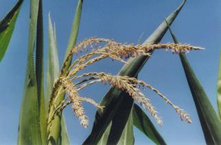 Ir a Un nuevo estudio científico a largo plazo confirma la toxicidad de un maíz transgénico