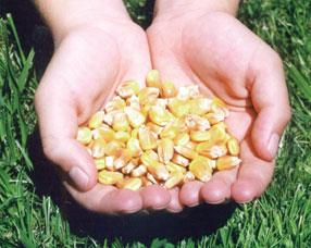 Ir a Amigos de la Tierra envía al Ministro Cañete una muestra de maíz ecológico en peligro por la presencia de transgénicos