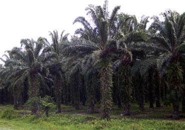 Ir a Aceite de palma: los europeos se ven forzados a llenar sus depósitos con carburantes que destruyen las selvas