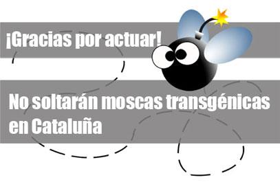 Ir a No se soltarán moscas transgénicas en Cataluña