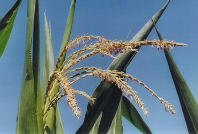 Ir a Agricultores, consumidores y ecologistas piden al Ministro Cañete que vote en contra de la autorización del maíz transgénico 1507