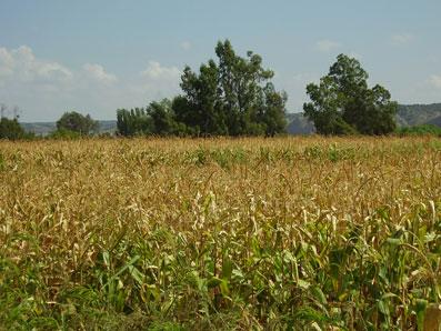 Ir a Un informe de Estados Unidos confirma que los cultivos transgénicos ponen en peligro la agricultura ecológica