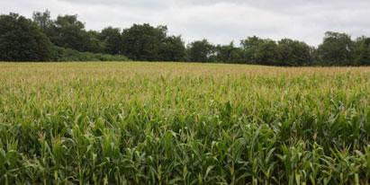 Ir a La nueva Ley de renacionalización de cultivos transgénicos supone una amenaza para la agricultura en España