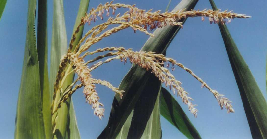 Ir a Una nueva maleza pone en jaque la autorización de maíz transgénico en el Estado