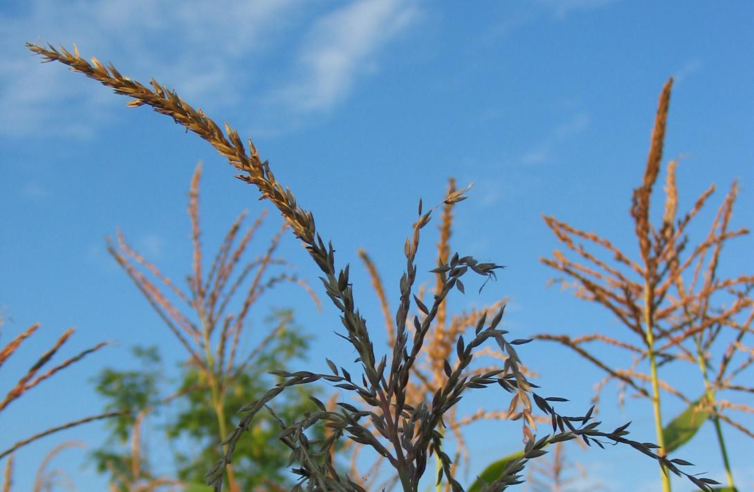 Ir a El cultivo de maíz transgénico puede favorecer la propagación del teosinte, una especie invasora problemática