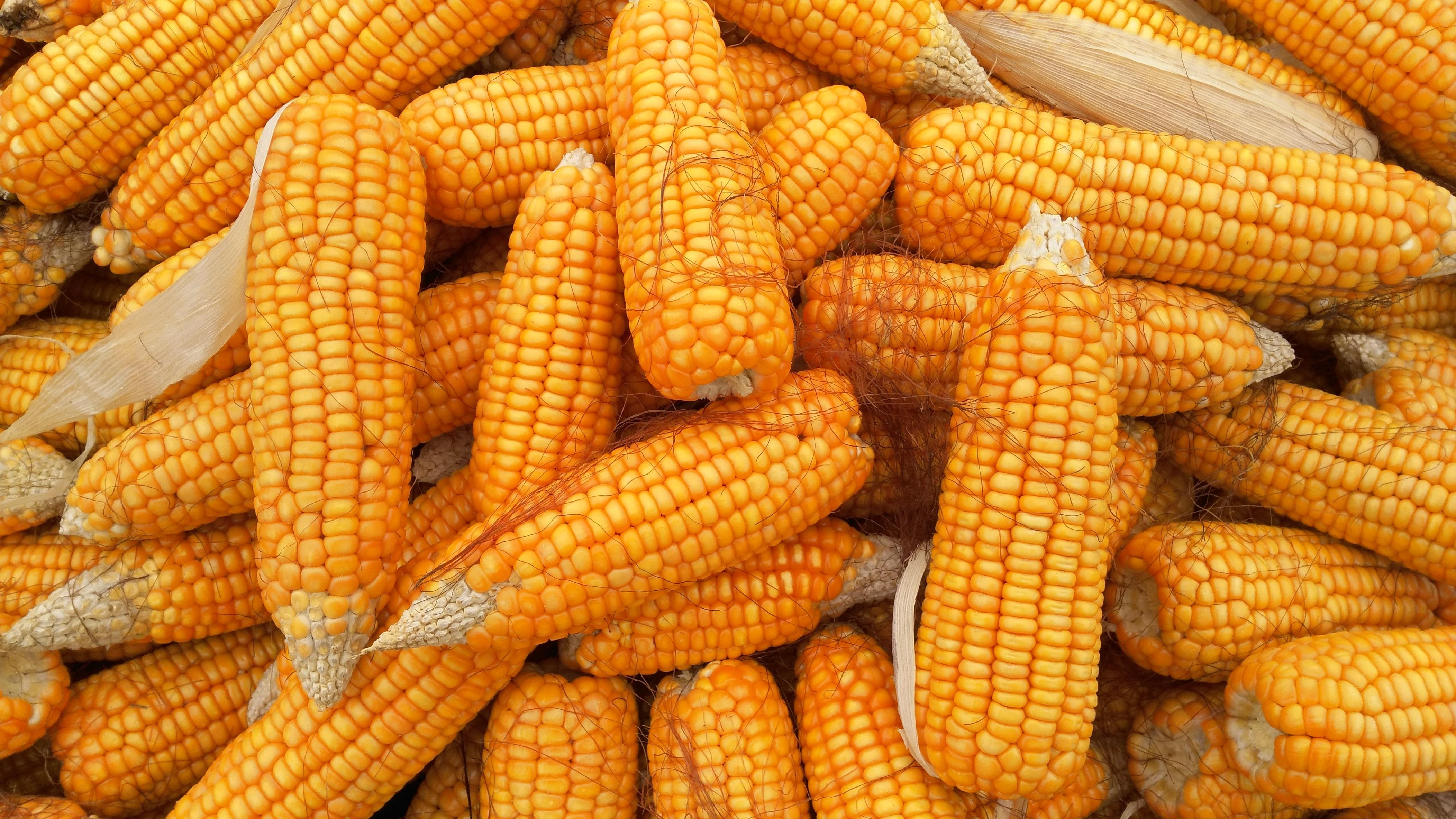 Ir a La mayoría de la UE vota no a los nuevos maíces transgénicos