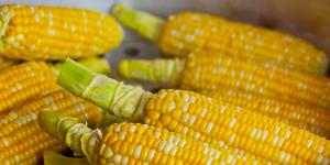maíz es uno de los transgénicos más extendidos