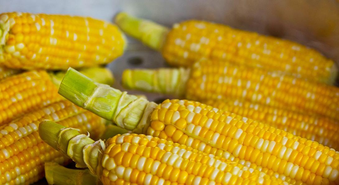 Ir a La UE muestra su rechazo a dos nuevos maíces transgénicos por segunda vez en tan solo dos meses
