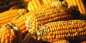 el maiz es el cultivo transgénico más abundante