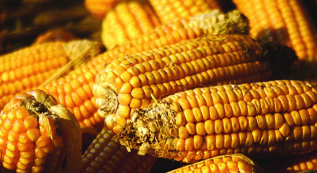 Ir a Un Comité de apelación decidirá el lunes si aprobar nuevos tipos de maíz transgénico rechazados por el Parlamento Europeo