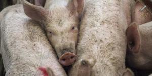 informe ¿un país para cerdos?