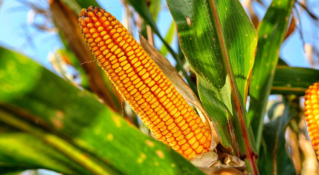Ir a Todo lo que necesitas saber sobre la autorización de cultivos transgénicos en 60 segundos