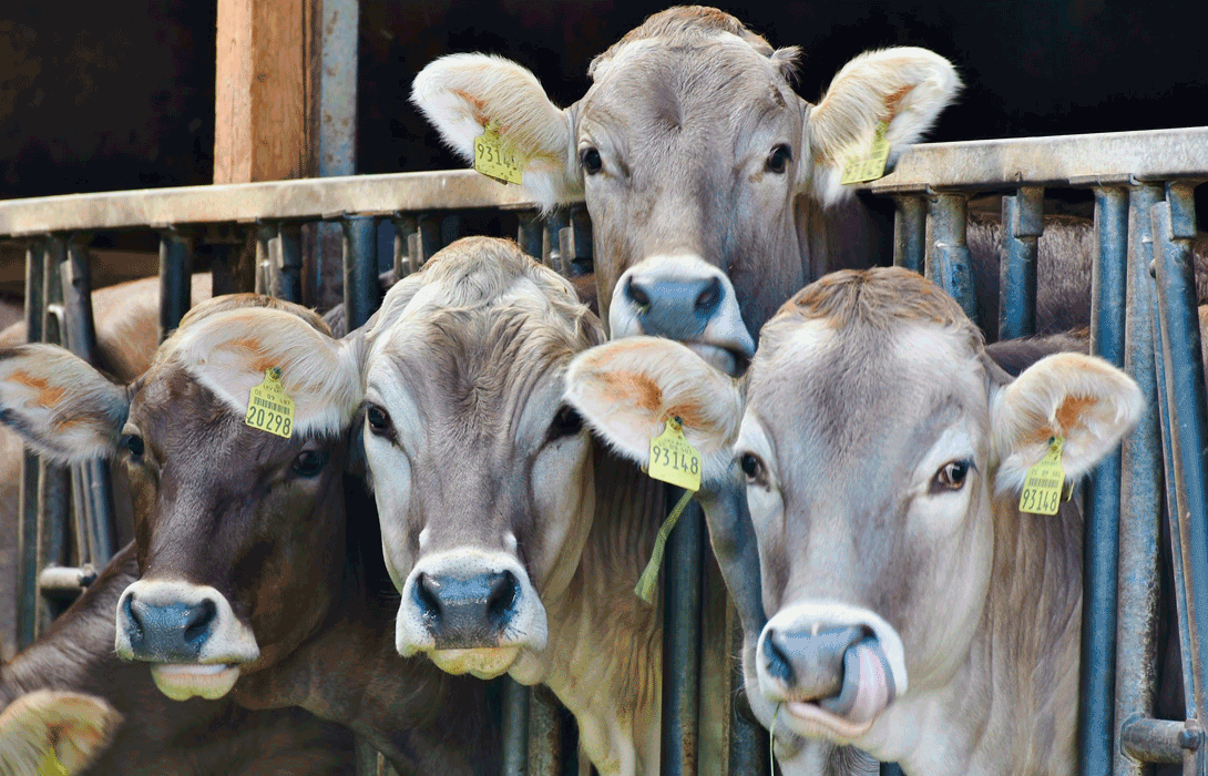 Ir a Menos Carne, Mejor Carne: Stop Ganadería Industrial
