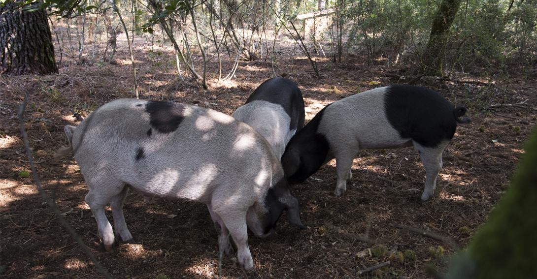 cerdo celta en Galicia