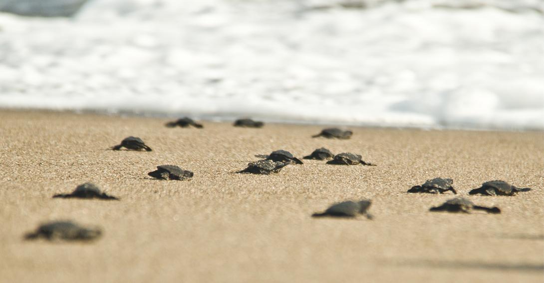 tortuguitas llegan al mar