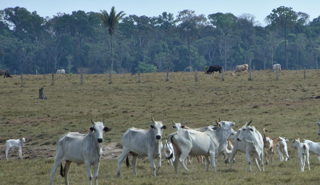 Ir a Un nuevo informe de Amigos de la Tierra encuentra carne de vacuno vinculada a la deforestación de la Amazonía en supermercados de España y Europa